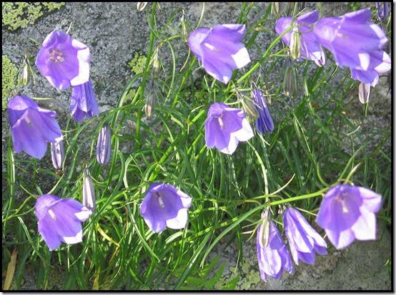 2803-Harebells-Campanula-rotundifolia