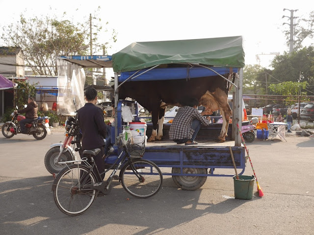 man milking a cow on a motorbike tricycle cart