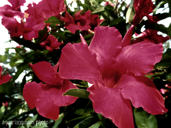 Red Hibiscus Photo By Aquariann