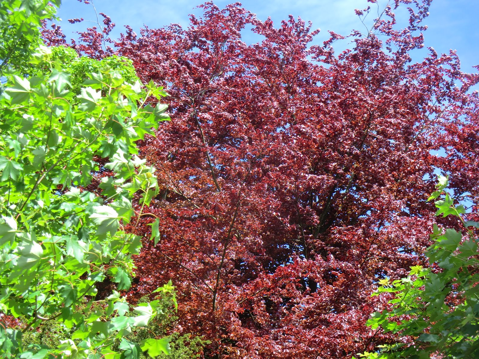 CIMG0340 Copper beech on Church Lane