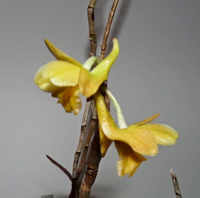 Dendrobium ionopus P1420728