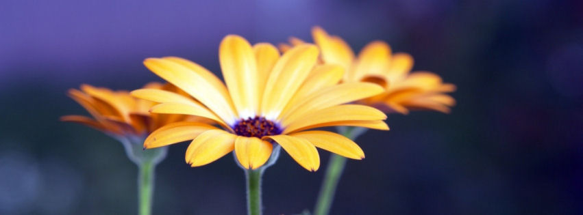 Rudbeckia flowers facebook cover