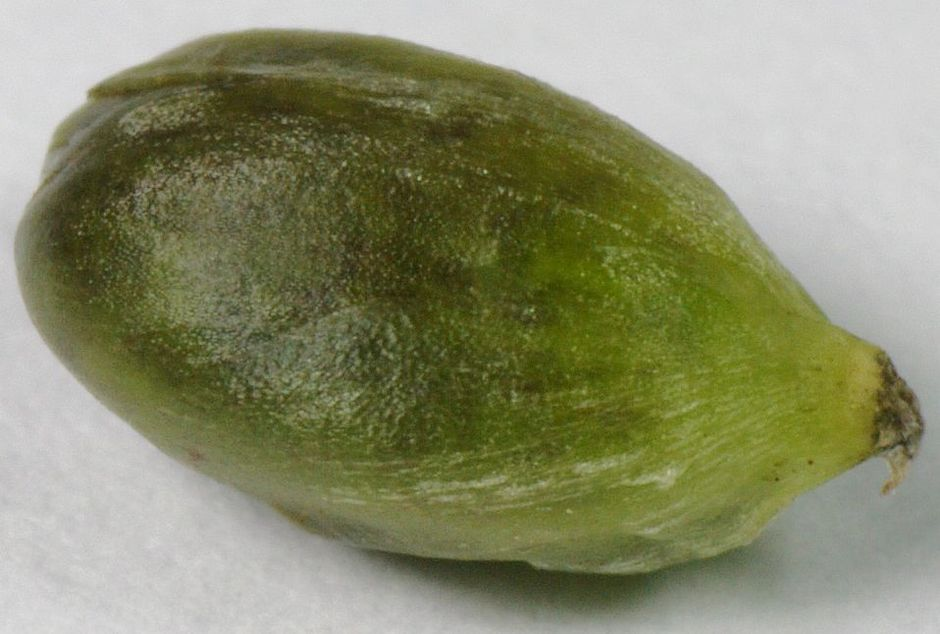 Водокрас лягушачий (Hydrocharis morsus-ranae)
