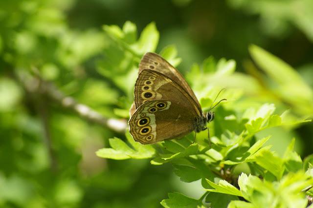 Lopinga achine SCOPOLI, 1763, femelle. Combe de l'Air, Forêt de Châtillon (Côte-d'or), 16 juin 2007. Photo : J.-M. Gayman