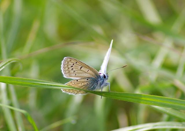Polyommatus icarus ROTTEMBURG, 1775, mâle. Les Hautes-Lisières (Rouvres, 28), 27 septembre 2011. Photo : J.-M. Gayman