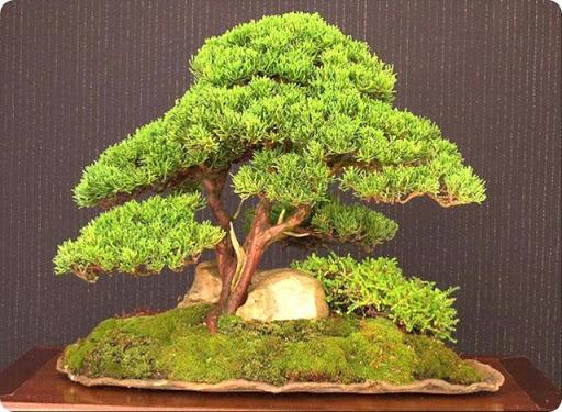 Hobby bonsai