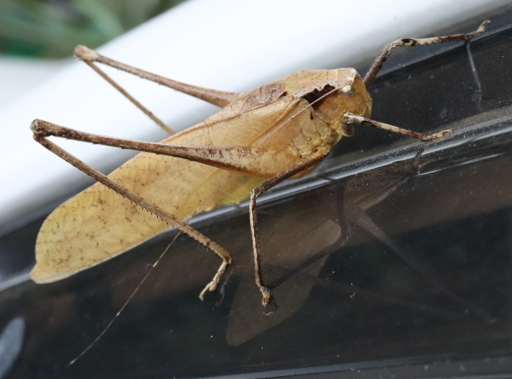 Brown Grasshopper On Car