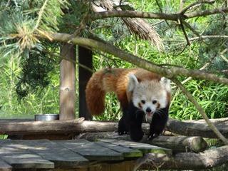 2016.09.02-010 panda roux