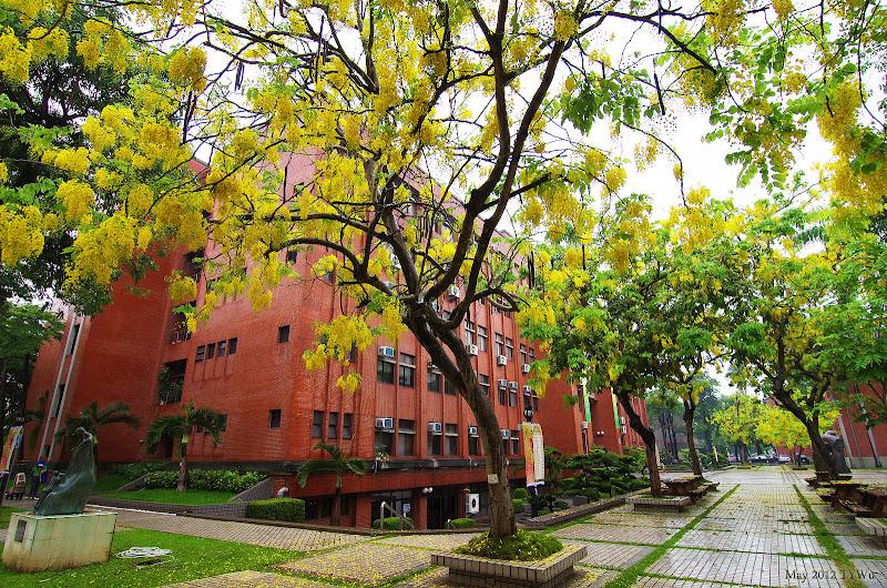 台南最美的街景主題 黃金雨 阿勃勒