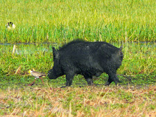 wildlife-wild-boar-2.jpg