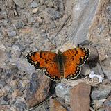 Melitaea sibina ALPHÉRAKY, 1881, mâle, Vanj Mts, 2920 m, 20.VII.2009, Tadjikistan. Photo : J.-F. Charmeux
