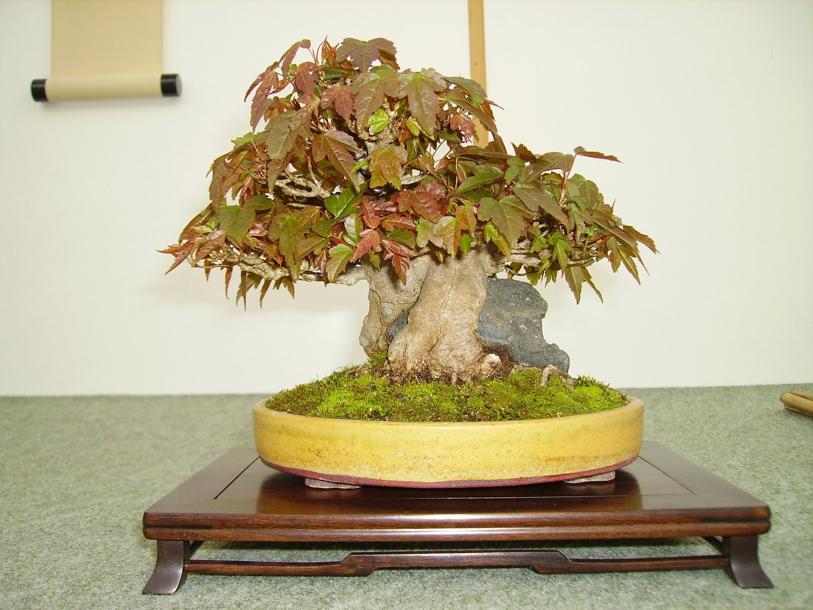 Ashfield Bonsai Club SHOHIN OFF MARCH 2011 BRITISH SHOHIN