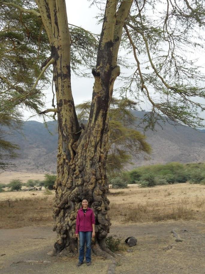 Ngorongoro'nun ilginç ağaçları