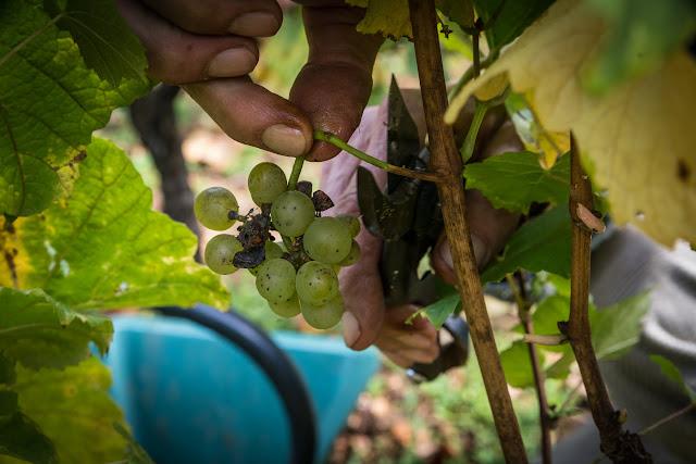 Petites vendanges 2017 du chardonnay gelé. guimbelot.com - 2017-09-30%2Bvendanges%2BGuimbelot%2Bchardonay-181.jpg