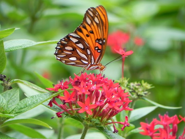 BUTTERFLY BUDDIES in the Nehrling Gardens