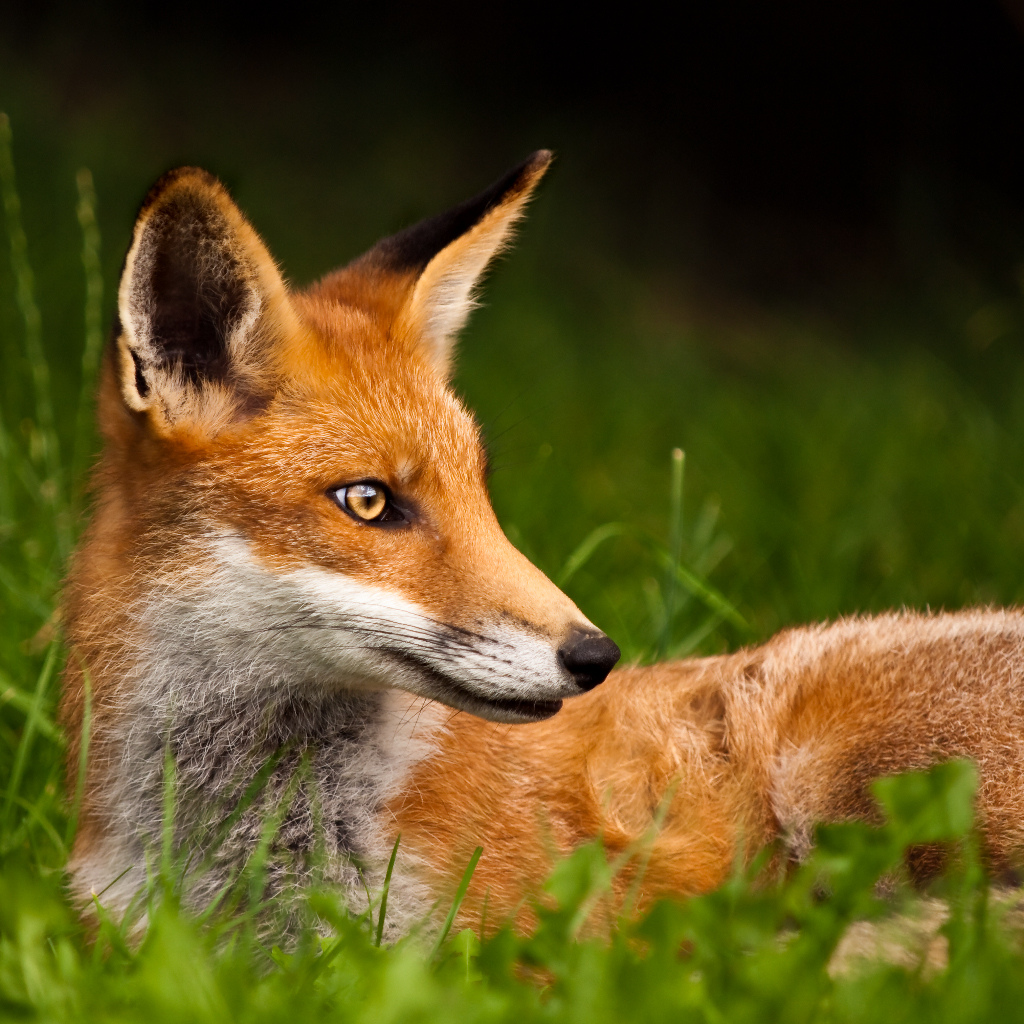 Photo: Red Fox (Side-On)