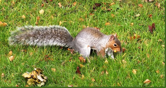 Grey squirrel October 2017
