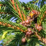 Шершень (Vespa crabro) и малая еловая ложнощитовка (Physokermes piceae)