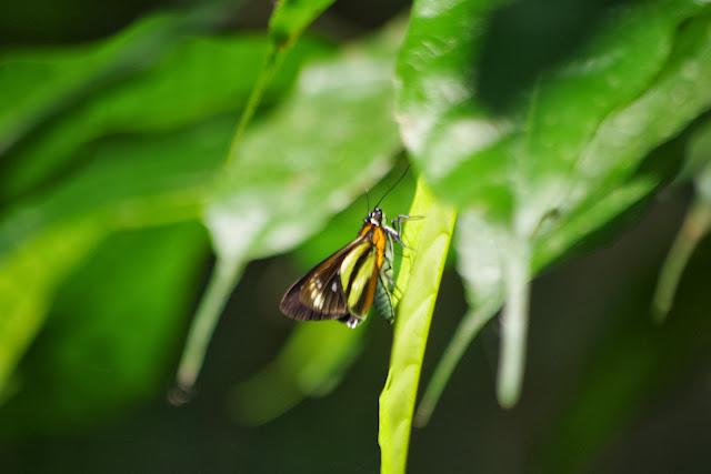 Vettius phyllus phyllus (CRAMER, 1777). Tunda Loma à Calderon (San Lorenzo, Esmeraldas), 27 novembre 2013. Photo : J.-M. Gayman