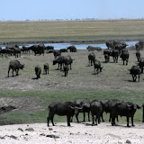 Cape buffalo in Chobe