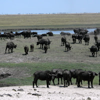 Cape buffalo in Chobe