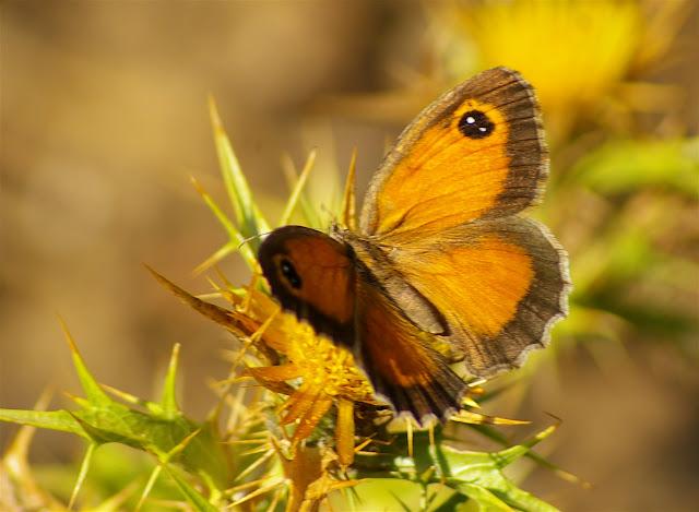 Pyronia cecilia ESPER, 1785, femelle. Vetaro (Viggianello, près de Propriano), Corse du Sud, août 2006. Photo : J.-M. Gayman