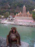 Crazy monkey - RIshikesh