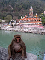Crazy monkey - RIshikesh