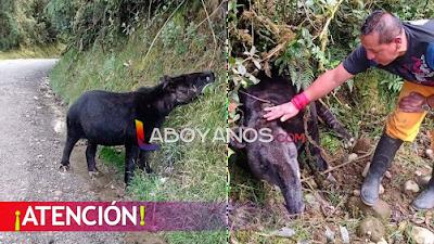 El llamado de auxilio por la Danta amigable que sale en la vía Isnos-Popayán, urge protegerla
