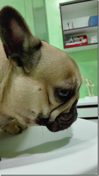 La sindrome brachicefalica nel cane