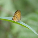 Mycalesis anapita fucienta FRUHSTORFER. Sepilok, 11 août 2011. Photo : J.-M. Gayman