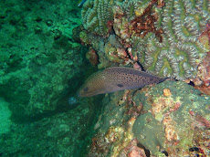 Giant Moray at Ko Ha