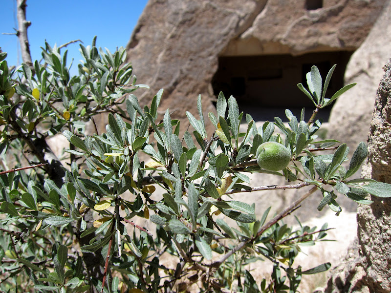 An olive bush above Rose Valley