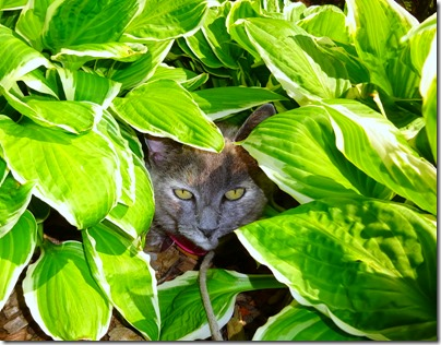 Bella in the Hostas