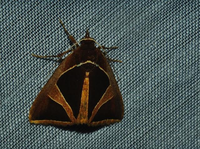 Noctuidae : Catocalinae : probablement Xenogenes sp. Umina Beach (N. S. W., Australie), 30 décembre 2011. Photo : Barbara Kedzierski