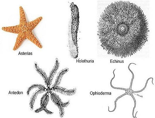 Echinodermata-classification-starfish
