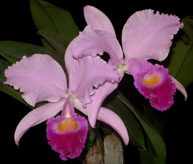 Растения из Тюмени. Краткий обзор - Страница 2 Ca.%252520schroederae