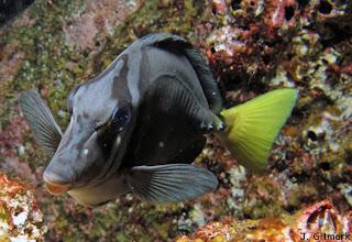 Prionurus%20laticlavius_Galapagos