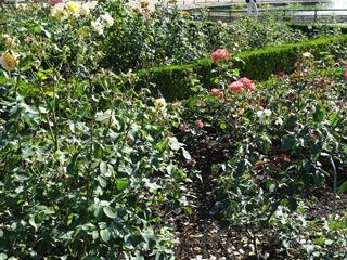 2016.08.05-040 roseraie
