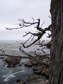 Cypress tree overlooking the Pacific Ocean