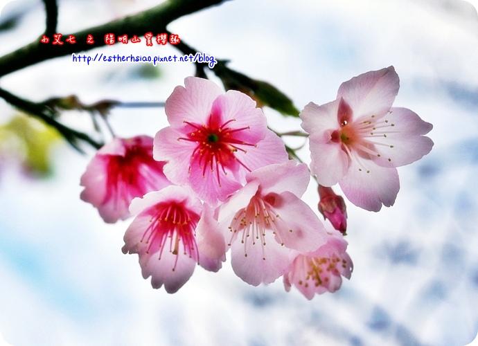 70 平菁街42巷櫻花樹