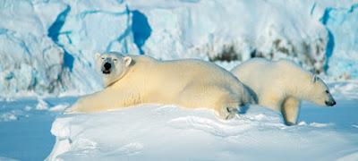 Kjer je polarnih medvedov več kot prebivalcev