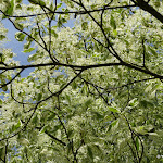 Arboretum de la Vallée-aux-Loups : cornouiller étage panaché