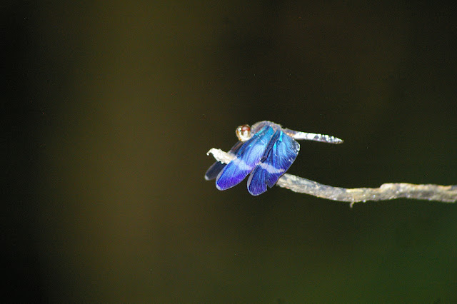 Libellulidae : Zenithoptera fasciata LINNAEUS, 1758. Crique Tortue, près de Saut Athanase (Guyane). 22 novembre 2011. Photo : J.-M. Gayman