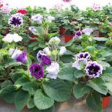 cultivo de plantas florales anuales - Copia%2Bde%2B100_0337.JPG