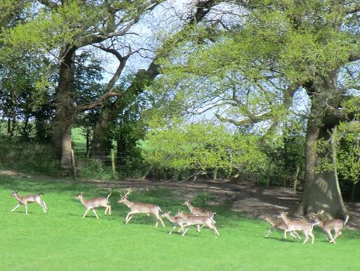 CIMG6396 Fallow deer, Highfields Park