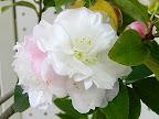淡桃色 牡丹咲き 小輪 有香