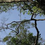 Layon au sud d'Amazone Nature Lodge, Montagne de Kaw. 17 novembre 2011. Photo : J.-M. Gayman