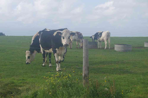 Vaches normandes.