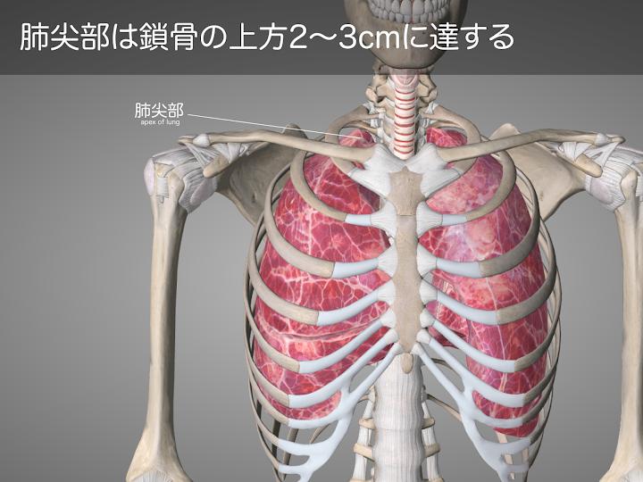 2014-16a-01:肺尖部は鎖骨の上方2〜3cmに達する.png